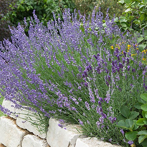 English Lavender Munstead