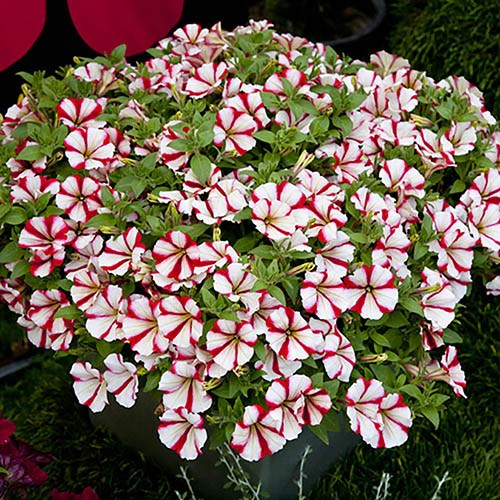 Petunia Crazytunia Cherry Cheesecake