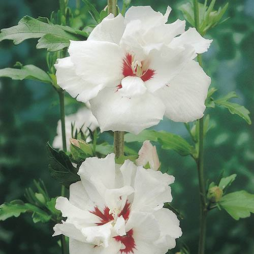 Pair of Hardy Double Hibiscus syriacus in 2L pots (Pink and White)