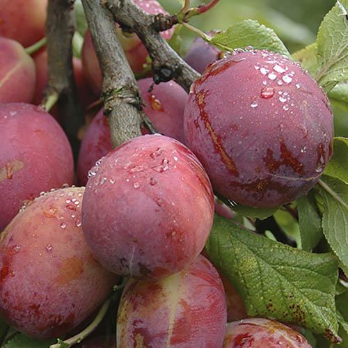 Plum Victoria tree