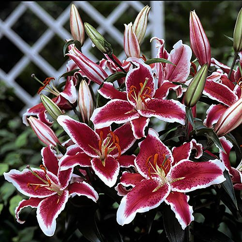 10 Fragrant Flowered Lily Bulbs