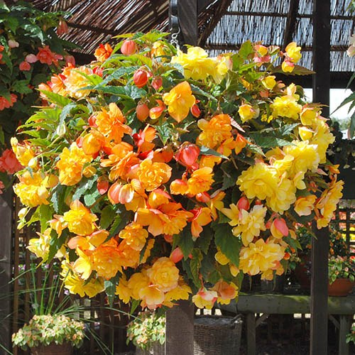 Begonia Apricot Sorbet Shades - Buy 10 Corms Get 10 Corms Free