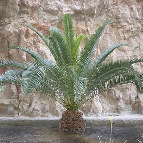 Pair of Phoenix Palms with Decorative Planters