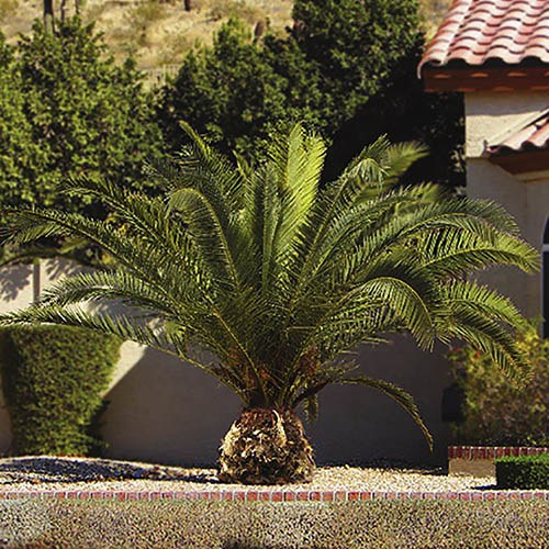Pair Phoenix Palms 80-100cm with Pair of Tulipa Gold Planters