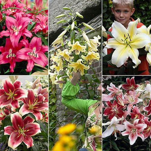 Complete Lily Bulb Collection - 30 bulbs