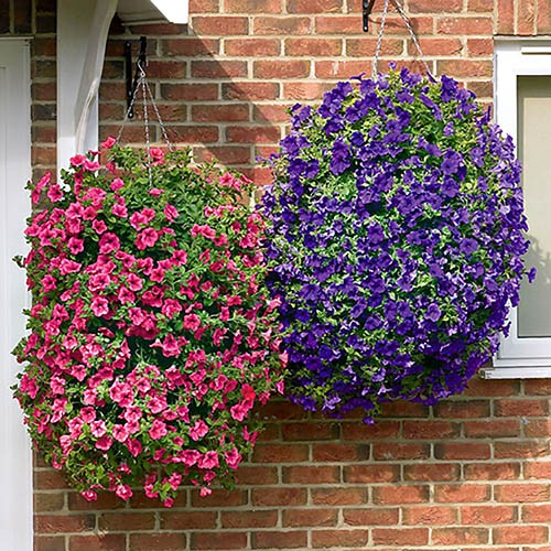 Fragrant Petunia Collection x 24