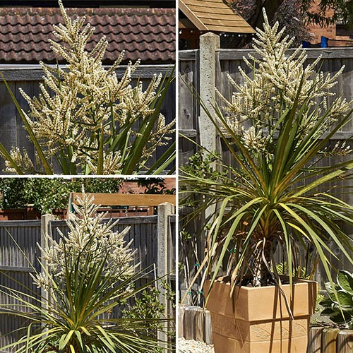 Pair of Cordylines with a Pair of 13 Gold Groove Planters