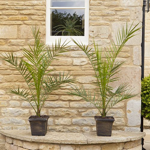 Pair of 60cm Patio Phoenix Palms with a Pair of Metallic Planters