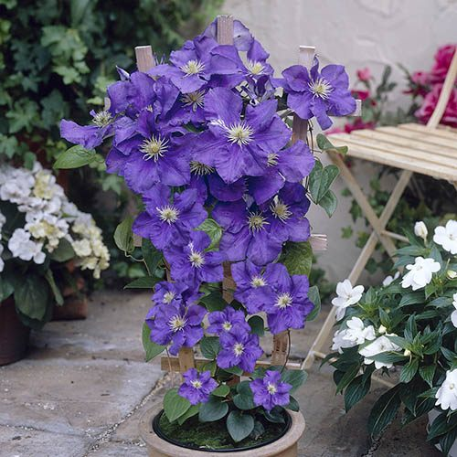 1.3m Tower Pot with Boulevard Patio Clematis in a 3L Pot