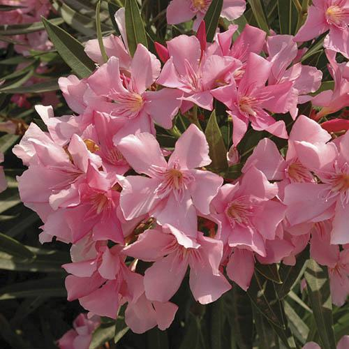 Pair of Pink Half Standard Oleanders with Metallic Planters