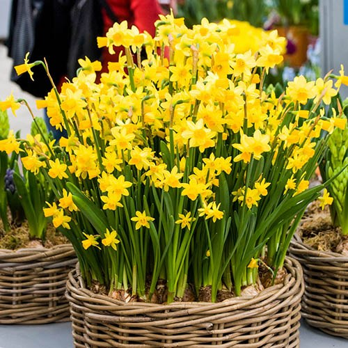 100 Narcissus Tete a Tete Bulbs with Planters