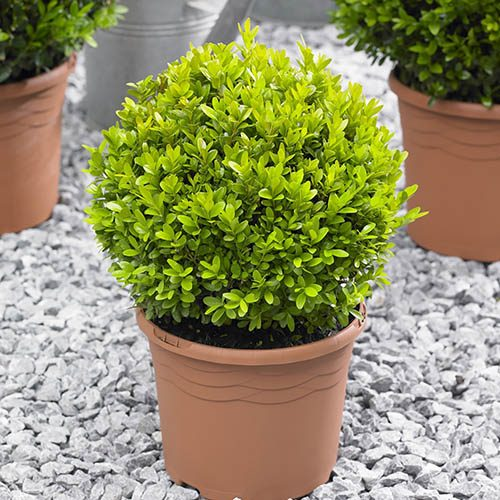 Pair of 25cm Buxus Balls with Gold Tapered Planters