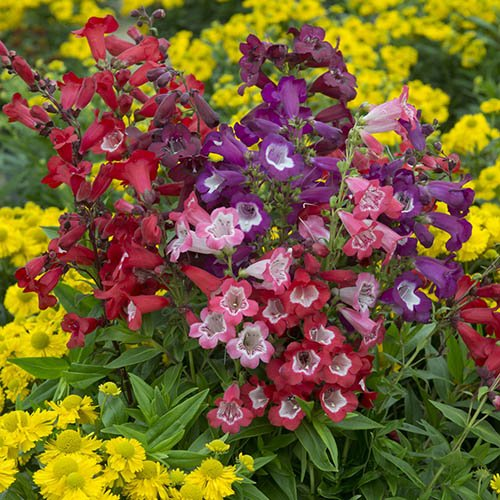 Hardy Pensham Penstemon Collection