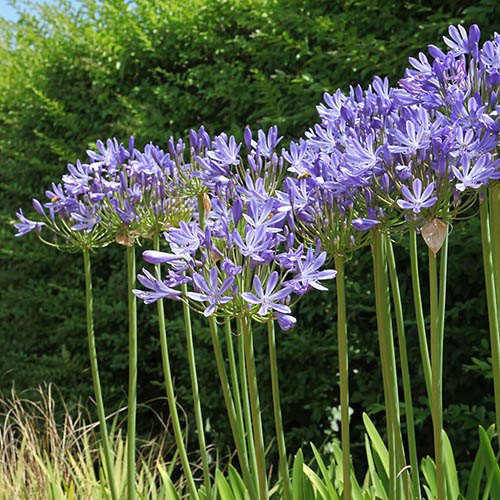 Pair of Agapanthus Dr Brouwer Plants