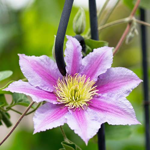 Pair of Large Flowered Clematis with Fertiliser