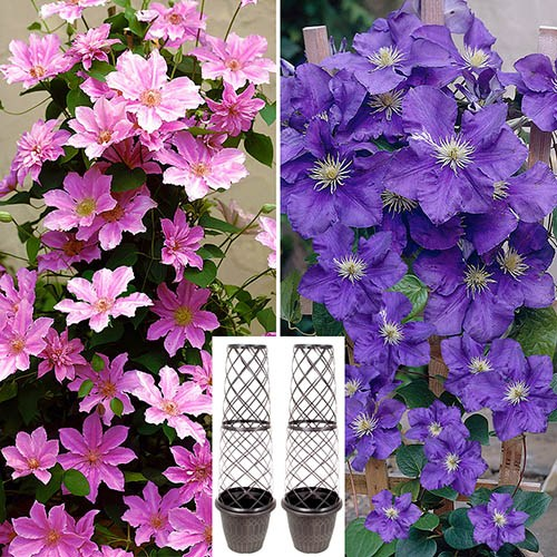 Pair of Tower Pots with Large Flowered Pink & Blue Clematis