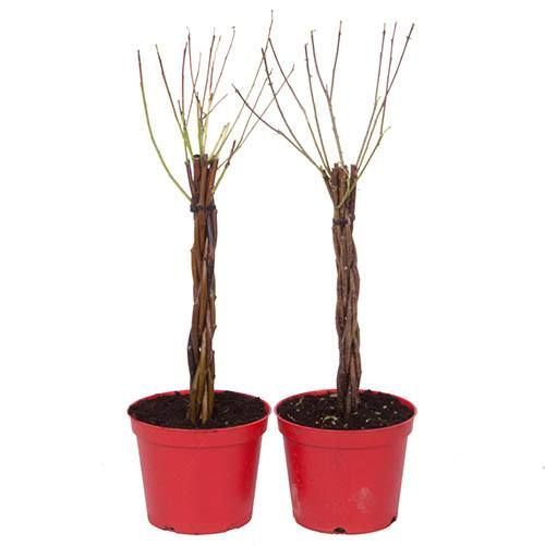 Pair of Plaited Willow Bonsai Standards