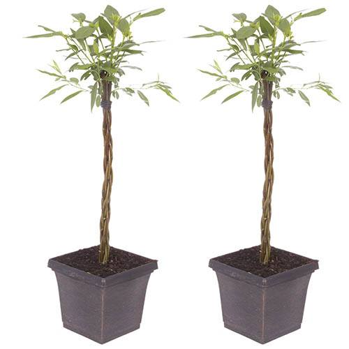 Pair of Plaited Willows 50cm Tall in Decorative Pots