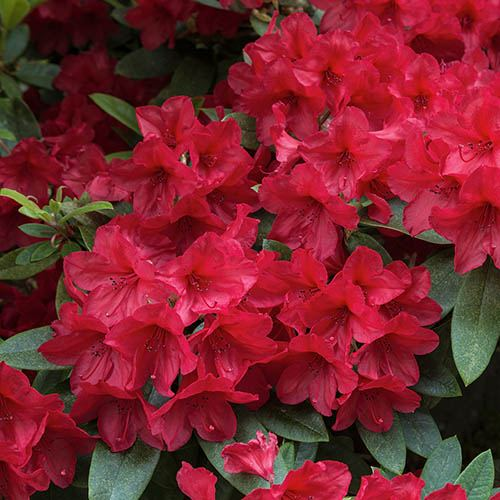 Hardy Evergreen Rhododendron Collection with Decorative Planters