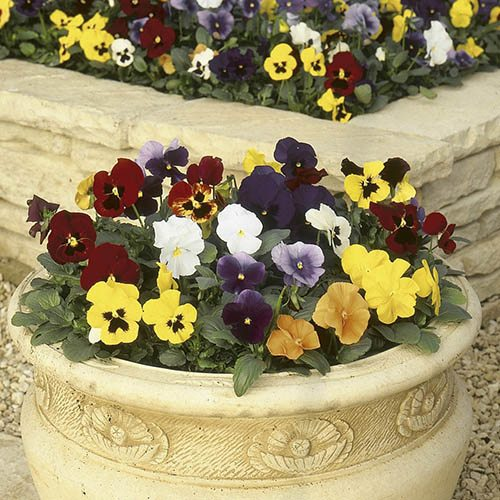Decorative Planters with Pansy Carneval Jumbo Plugs and Tulip and Muscari Bulbs