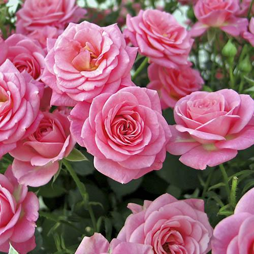 Garden Glamour Rose Collection with Decorative Copper Pots
