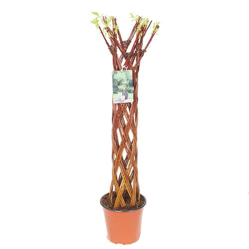 Living Willow Sculpture Harlequin 1m Tall with Decorative Planter