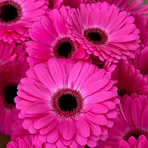 Bright & Bold Gerbera Garvinea & Planter Collection