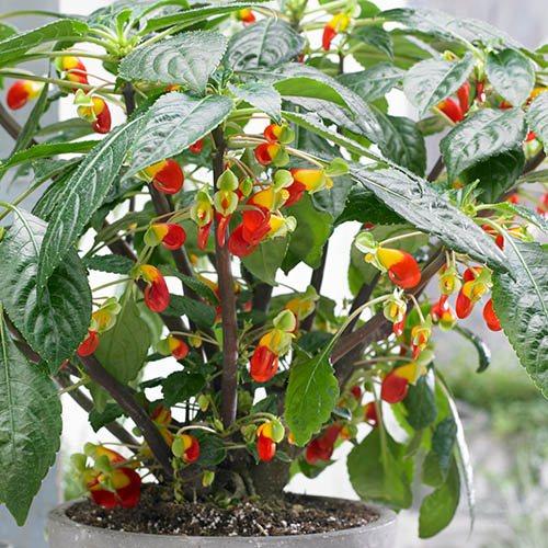 Parrot Plant (Impatiens niamniamensis)