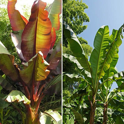 Pair architectural banana plants and Art Deco pots
