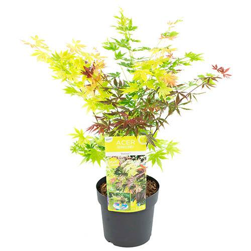 Acer Festival Mix 3-in-1 in 3L pot with free Premium Rope Planter