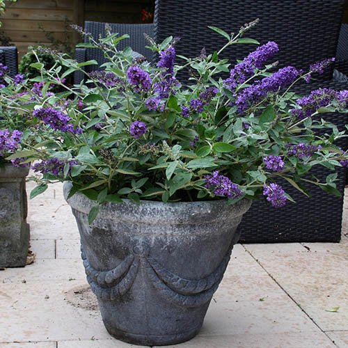 Buddleia Petite Collection & 3 Planters