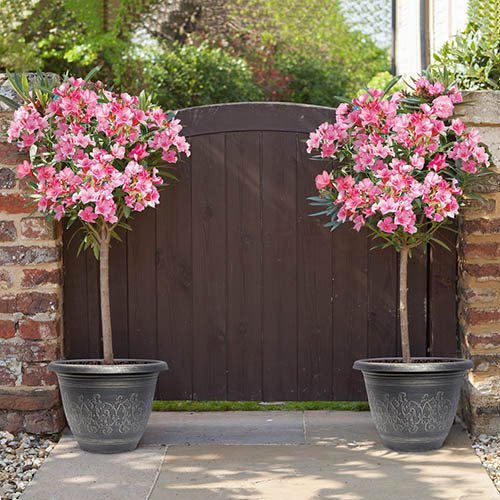 Pair of pink standard Oleanders with 13in Florence planters