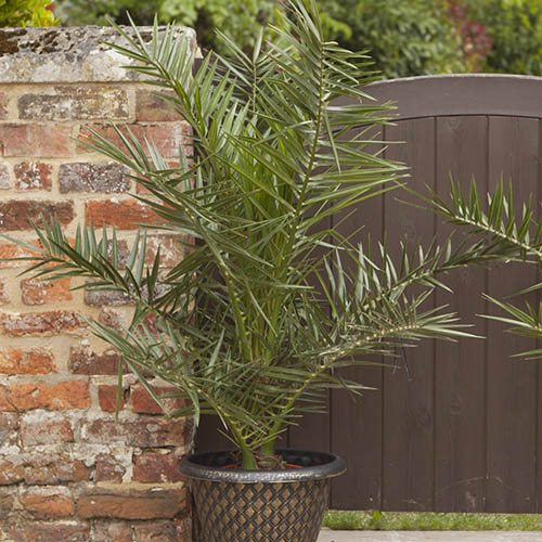 Pair of Phoenix Palms with Pots and Compost