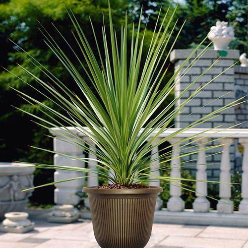 Pair 80-90cm Cordyline Plants with Decorative 36cm vertical stripe urns