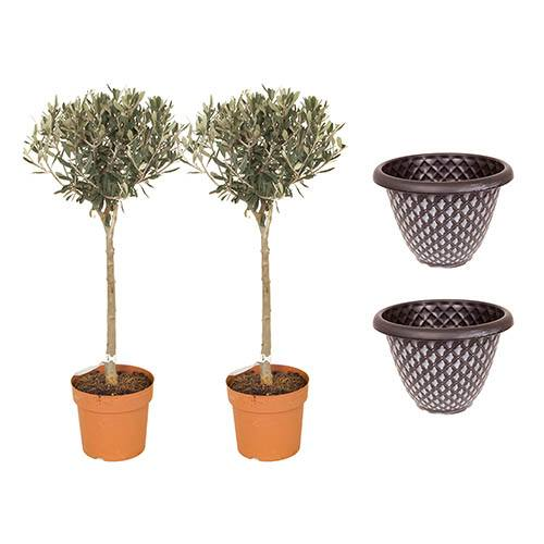 Pair of 80cm Tall Olive Standards with Large Pinecone Planters