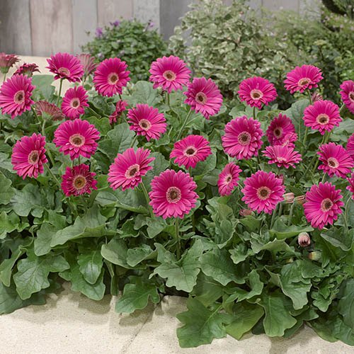 Hardy Perennial Gerbera Garvinea Collection