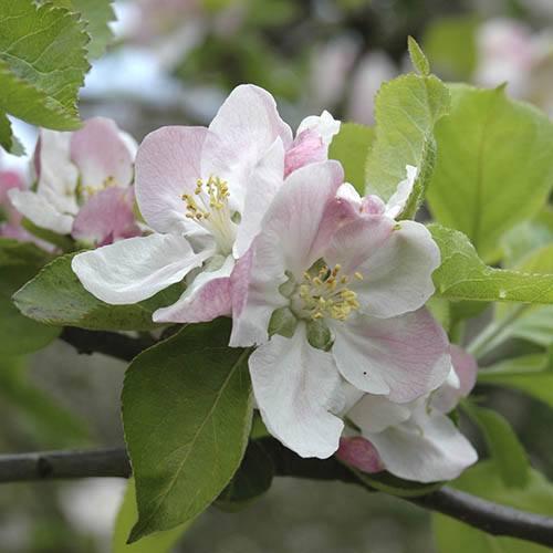 Braeburn Apple Tree