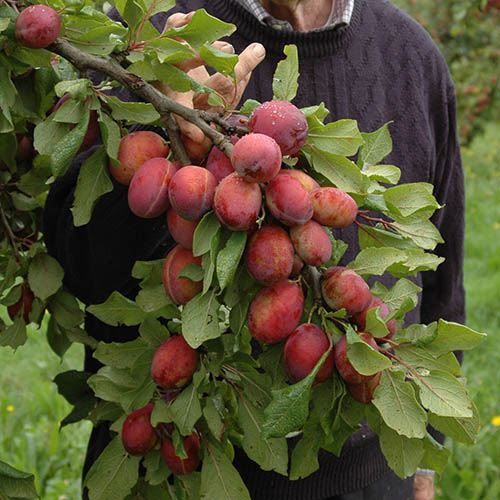 Mini Orchard Fruit Tree Collection