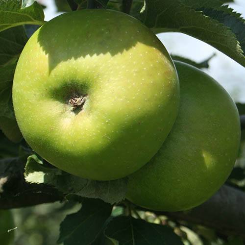 Bramley Apple Patio Fruit Tree Bare-Root 1.2m Tall
