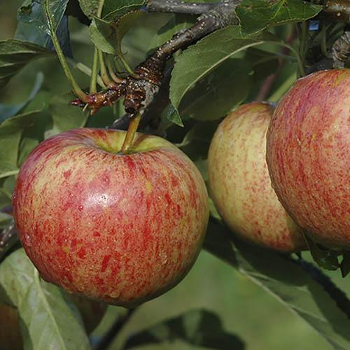 Apple Queen Cox Tree