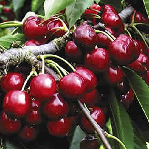 Sour Cooking Cherry Morello Tree