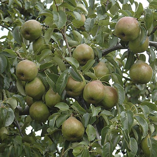 Pear Doyenne du Comice Tree