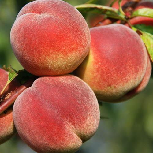 Red-Leaved Patio Peach Crimson Bonfire Tree