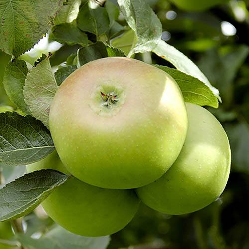 Bramley Apple Tree in 5L pot