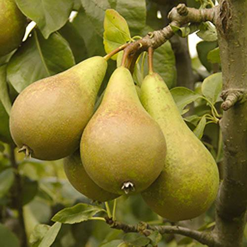 Pear Conference 5L