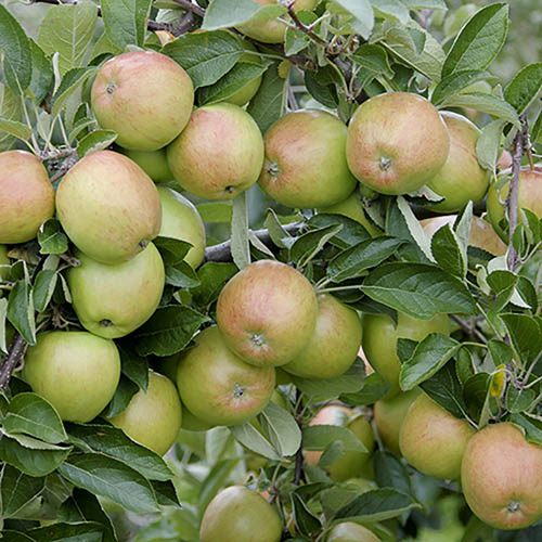 Apple Braeburn 7.5L potted tree