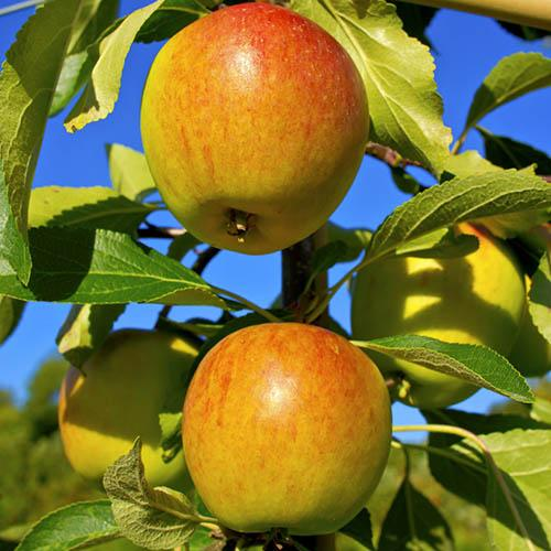 Apple Coxs Orange Pippin Tree