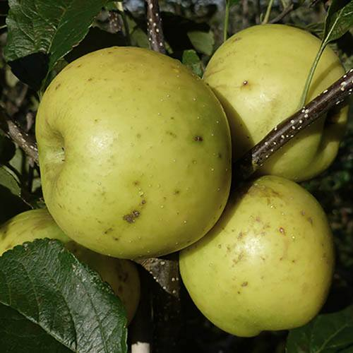 Apple Greensleeves  Tree
