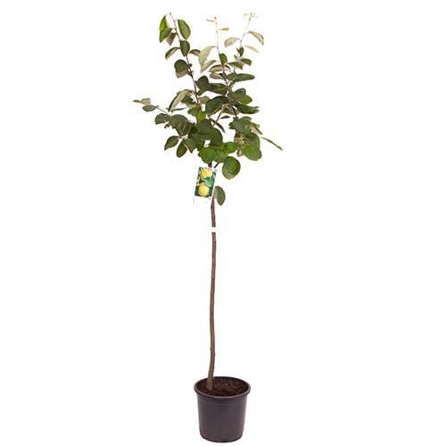 Quince Vranja Tree
