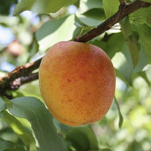 Nectarine Dwarf Patio Perfect tree